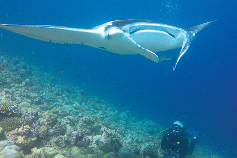 Boutique Beach Maldives Manta Ray Underwater with Diver